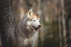 华美和自由狗品种西伯利亚爱斯基摩人外形画象在秋天森林里坐桦树背景 免版税库存照片