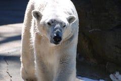 华美注视着紧密一北极熊走 免版税库存照片