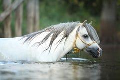 华美的公马游泳Potrait在河 库存图片