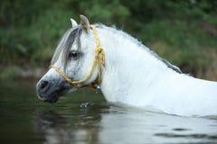 华美的公马游泳Potrait在河 图库摄影
