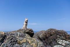 华美的在海滩的狗品种西伯利亚爱斯基摩人画象  自由多壳的狗的图象坐岩石在海边 库存图片