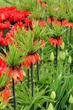华美的床五颜六色的郁金香,红色冠皇家焦点 库存图片