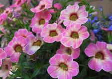 华美的有吸引力的桃红色喇叭花花在2019年6月开花 图库摄影