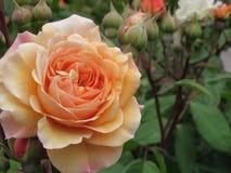 华美的桃子罗斯花在伊利沙伯王后公园庭院里开花 库存图片