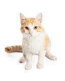 华美的橙色和白色混杂的品种猫 库存照片