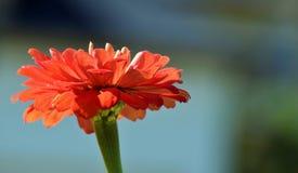 华美的橙色花 库存照片