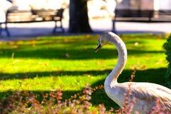 华美的灰色天鹅,走在城市 图库摄影