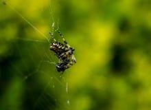 华美的狩猎欧洲花园蜘蛛 库存图片
