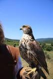 华美的猎鹰 库存照片