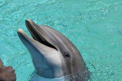 华美的瓶被引导的海豚 库存图片