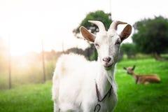 华美的白色山羊的画象 图库摄影