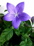 华美的紫色PLATICODON 免版税库存图片