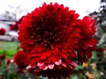 华美的红色花在庭院里 免版税库存图片