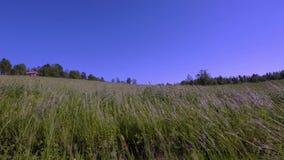 华美的自然风景视图 摇摆在风的绿草 在天空蔚蓝背景的绿草领域 影视素材