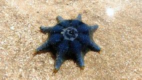 华美的蓝色海星移动在沙子的浅水区 股票录像