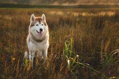 华美的西伯利亚爱斯基摩人狗画象与坐在草的棕色眼睛的在日落 库存图片