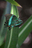 华美的鲜绿色Swallowtail蝴蝶在春天 图库摄影