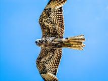 华美的鹰飞行在加拉帕戈斯群岛 图库摄影