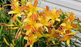 华美的黄色和橙色Daylillies 免版税图库摄影