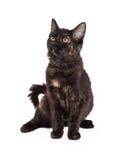 华美的黑色和Tan家养的长发小猫 免版税库存图片