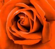华美,非常美好的橙色玫瑰色颜色 库存图片