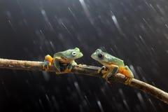 华莱士的飞行的青蛙,在分支的华莱士的飞行的青蛙 免版税库存照片