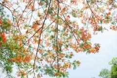 华腴,槭叶瓶木,皇家Poinciana 免版税库存照片
