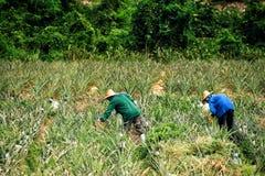 菠萝领域的农厂工人 图库摄影