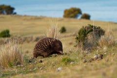 单孔目哺乳动物类aculeatus -在澳大利亚灌木的短钩形的针鼹 免版税库存图片