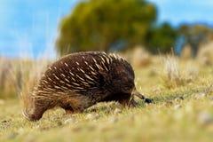 单孔目哺乳动物类aculeatus -短钩形的针鼹在澳大利亚 免版税库存图片