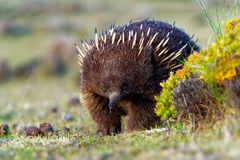 单孔目哺乳动物类aculeatus -短钩形的针鼹在澳大利亚 库存照片