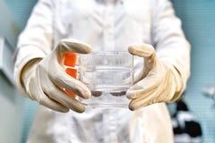 单层细胞的妇女研究员举行细胞培养烧瓶在要做实验室试验的培养基 免版税库存图片