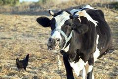 单独一个母牛立场与一起鸡在农场 免版税库存图片
