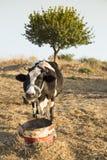 单独一个母牛立场在传统自由放养的家禽场 免版税图库摄影