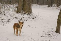 单独一条狗在森林在冬天 下雪 一个无家可归的动物 人道主义 动物保护 免版税库存照片