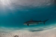 单独一条虎鲨在蓝色海 免版税库存图片