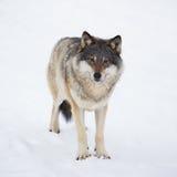 单独一头狼在雪 免版税库存照片