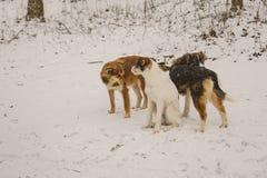 单独三条狗在森林在冬天 下雪 一个无家可归的动物 动物保护 库存图片