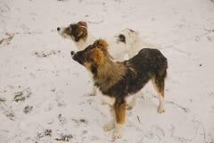 单独两条狗在森林在冬天 下雪 一个无家可归的动物 动物保护 免版税图库摄影