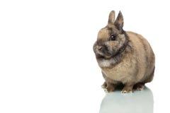 单独兔宝宝逗人喜爱的复活节空白的&# 免版税库存图片