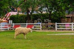 单独卷曲和羊毛绵羊在有绿草的农场在泰国 库存照片