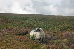 单独唯一公羊在回顾的领域 图库摄影