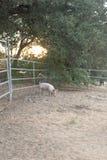单独唯一幼小桃红色家养的逗人喜爱的猪与太阳设置通过橡树,整个宠物猪是可看见,垂直格式 库存图片