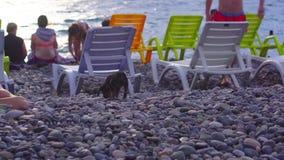 单独在海滨步行的小狗沿在基于deckchairs的游人中的小卵石 股票录像