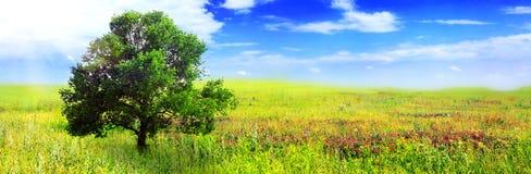 单独在绿色域的一个大结构树。 全景 免版税库存照片