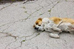 单独在街道的狗睡眠 免版税库存照片