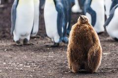 单独坐企鹅国王的小鸡 免版税库存图片