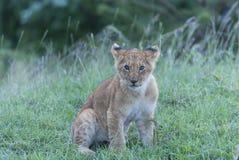 单独坐的幼狮,看迷惑 库存照片