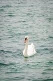 单独天鹅座在莱芒湖 免版税库存照片