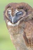 单独害臊猫头鹰在一个领域在赫特福德郡,英国 免版税库存照片